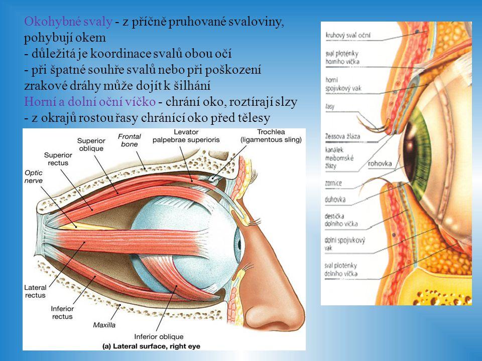 Vznik obrazu - světelný paprsek po odrazu od předmětu prochází přes rohovku a čočku na žlutou skvrnu na sítnici, kde vytváří zmenšený převrácený obraz - na světlo reagují tyčinky a čípky, což způsobí nervové podráždění a tento signál je veden zrakovým nervem do koncového mozku - zde je obraz rozložen na jednotlivé prvky: tvar, barva, jas, světlo, stín - a opět sestaven dle skutečnosti - ostrost obrazu zajišťuje akomodace čočky - při špatné akomodaci vzniká: krátkozrakost - obraz dopadá před sítnici, špatně vidíme vzdálené předměty dalekozrakost - obraz dopadá za sítnici, špatně vidíme blízké předměty