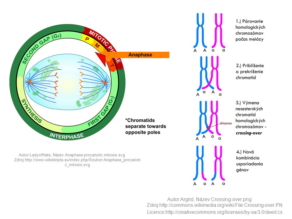 Autor:LadyofHats, Název:Anaphase procariotic mitosis.svg Zdroj:http://www.wikiskripta.eu/index.php/Soubor:Anaphase_procarioti c_mitosis.svg Autor:Argr