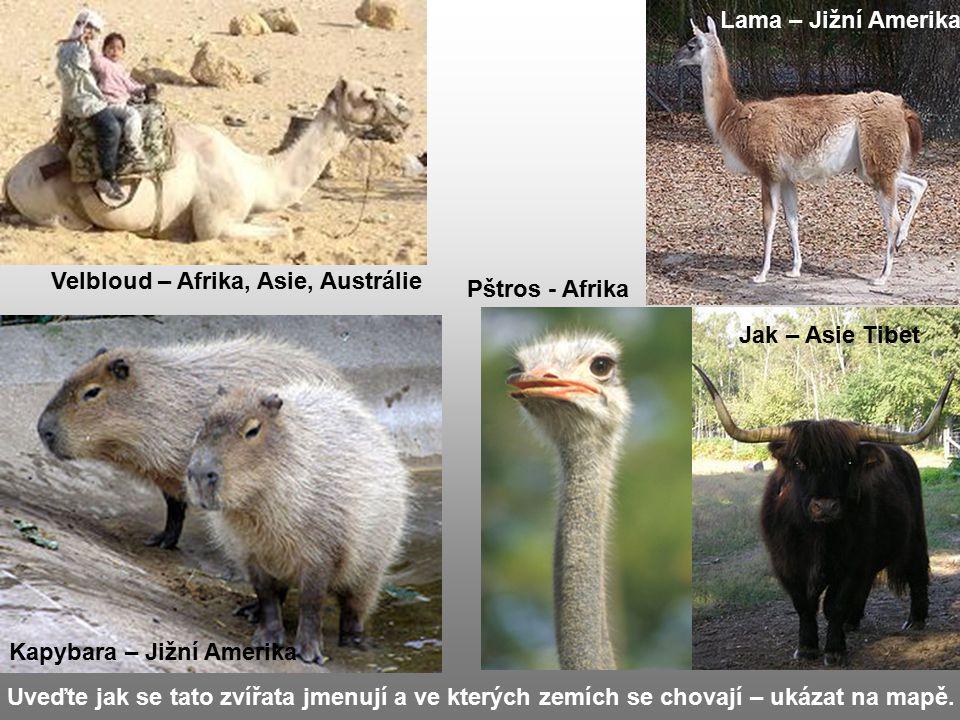 Uveďte jak se tato zvířata jmenují a ve kterých zemích se chovají – ukázat na mapě. Jak – Asie Tibet Lama – Jižní Amerika Pštros - Afrika Velbloud – A