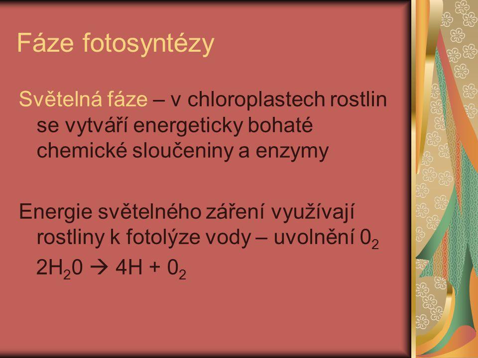 Temnostní fáze -bez přítomnosti světla -za pomoci energie a enzymů vytvořených ve světelné fázi dochází ke vzniku molekul monosacharidů, ty se slučují na disacharidy nebo polysacharidy a ukládají se v zásobních orgánech rostlin – kořenech, plodech, hlízách