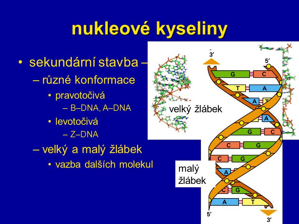 nukleové kyseliny sekundární stavba – DNA –různé konformace pravotočivá –B–DNA, A–DNA levotočivá –Z–DNA –velký a malý žlábek vazba dalších molekul vel
