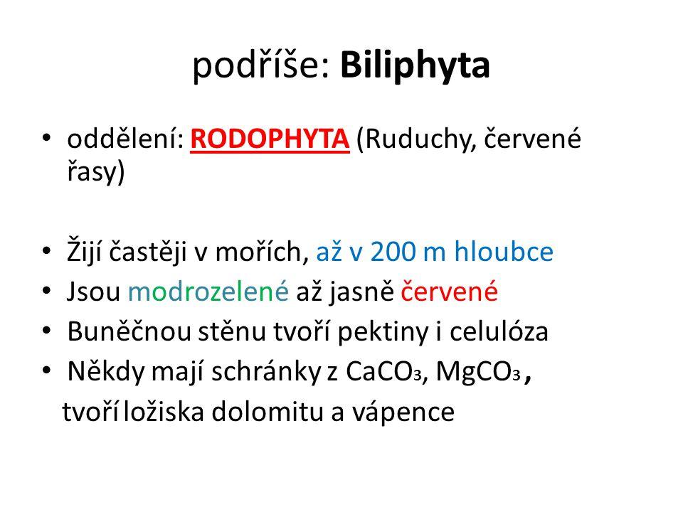 Oddělení: RODOPHYTA Stélka: kokální,heterotrichální (zdánlivě pletivná), nikdy bičíkatá ani pravá pletivná Asimilační barviva: chlorofyl a+d, fykocyanin, fykoerytrin, β-karoten, Zásobní látka: ruduchový (florideový) škrob Rozmnožování dělením, oogamií, obvyklá je rodozměna