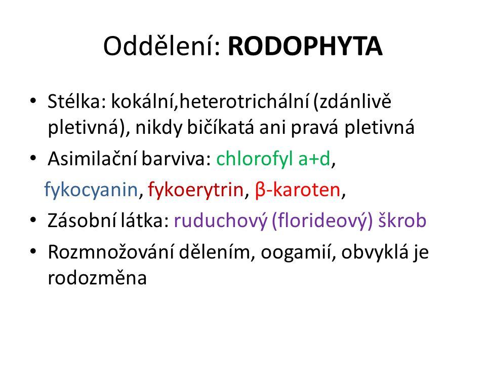 Oddělení: RODOPHYTA Stélka: kokální,heterotrichální (zdánlivě pletivná), nikdy bičíkatá ani pravá pletivná Asimilační barviva: chlorofyl a+d, fykocyan