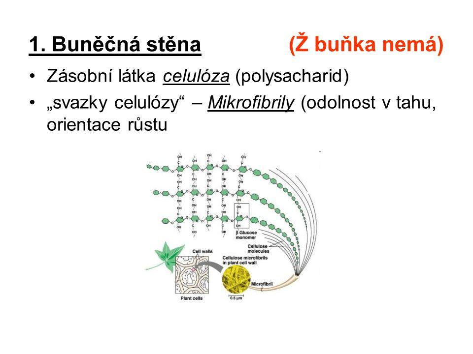 """1. Buněčná stěna (Ž buňka nemá) Zásobní látka celulóza (polysacharid) """"svazky celulózy"""" – Mikrofibrily (odolnost v tahu, orientace růstu"""