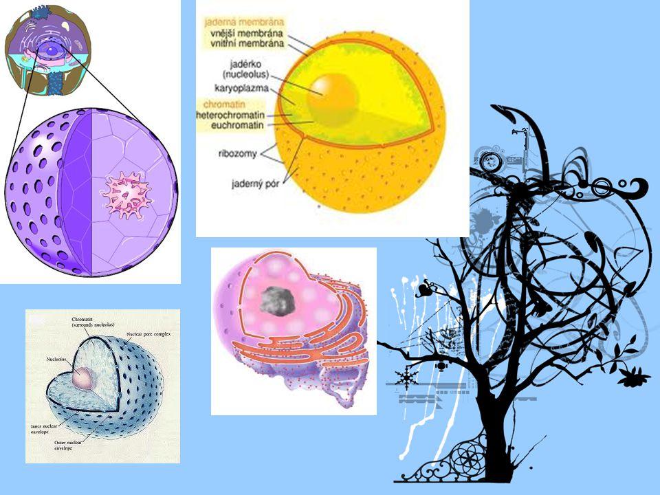 Organely: a) mitochnodrie: - oválné až vláknité, - 2 biomembrány - probíhá v nich uvolňování energie ( oxidativní fosforylace).