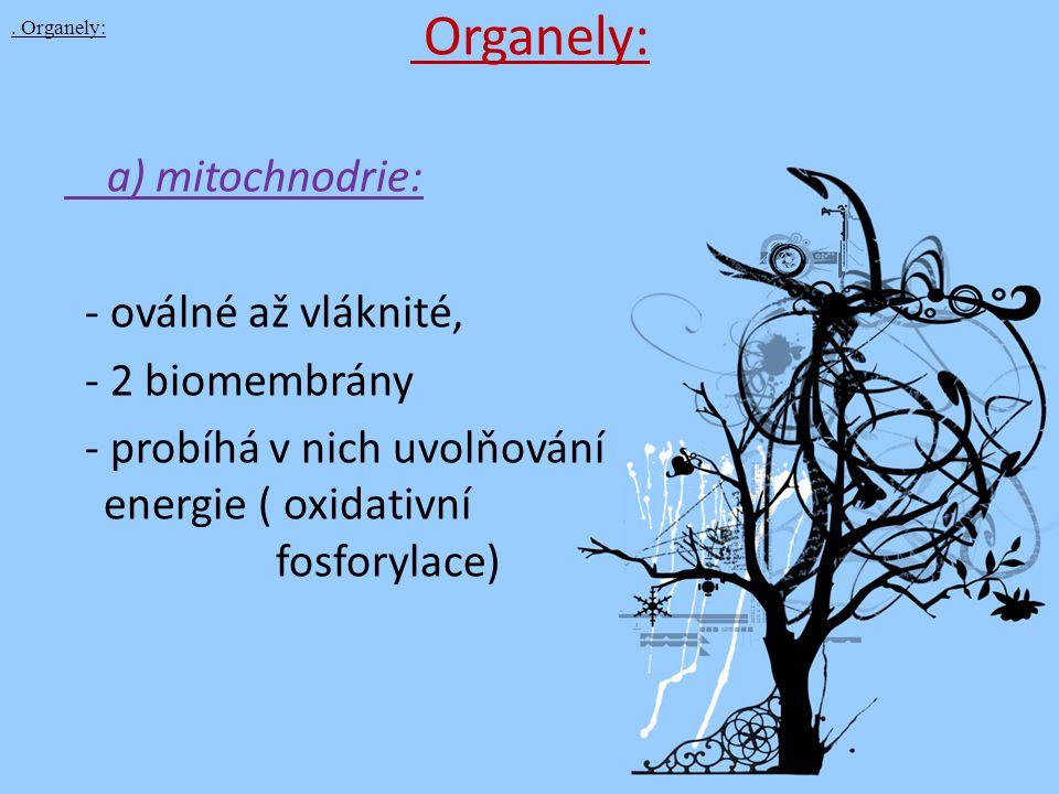 Organely: a) mitochnodrie: - oválné až vláknité, - 2 biomembrány - probíhá v nich uvolňování energie ( oxidativní fosforylace). Organely: