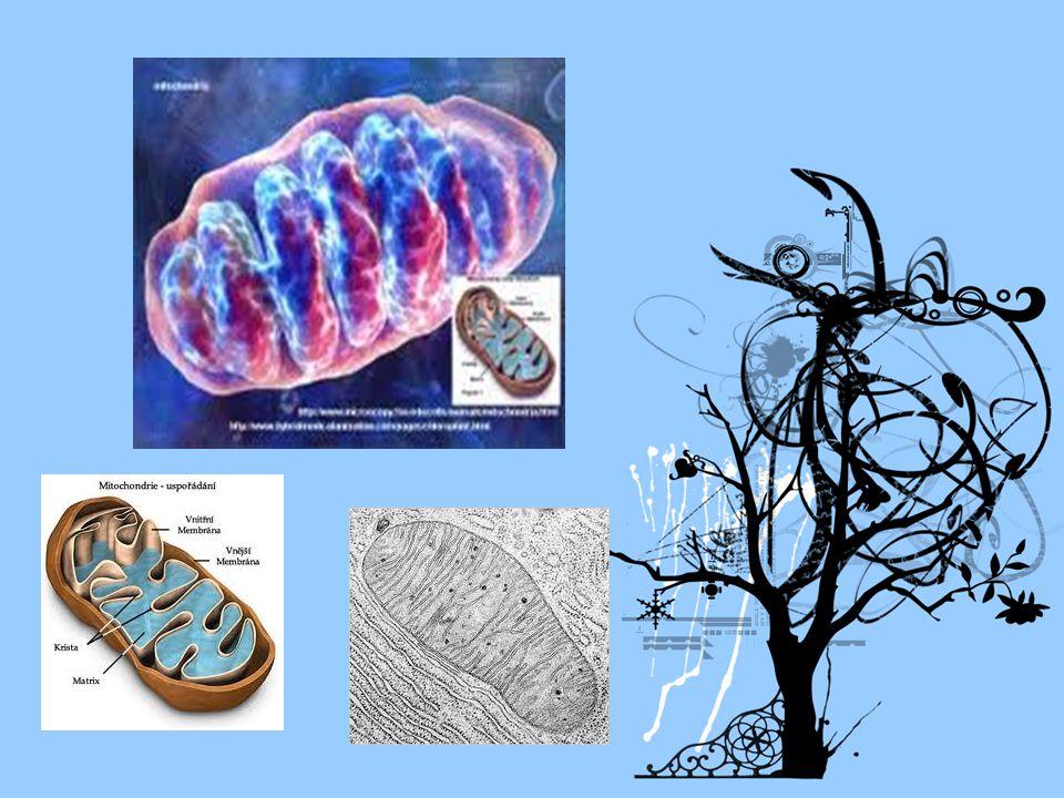 b) plastidy: - oválné, 2 biomembrány - jen u rostlin -typy: -Chloroplasty – zelené barvivo fotosyntéza -Chromoplasty – žluté a červené Leukoplasty - bezbarvé., škrob