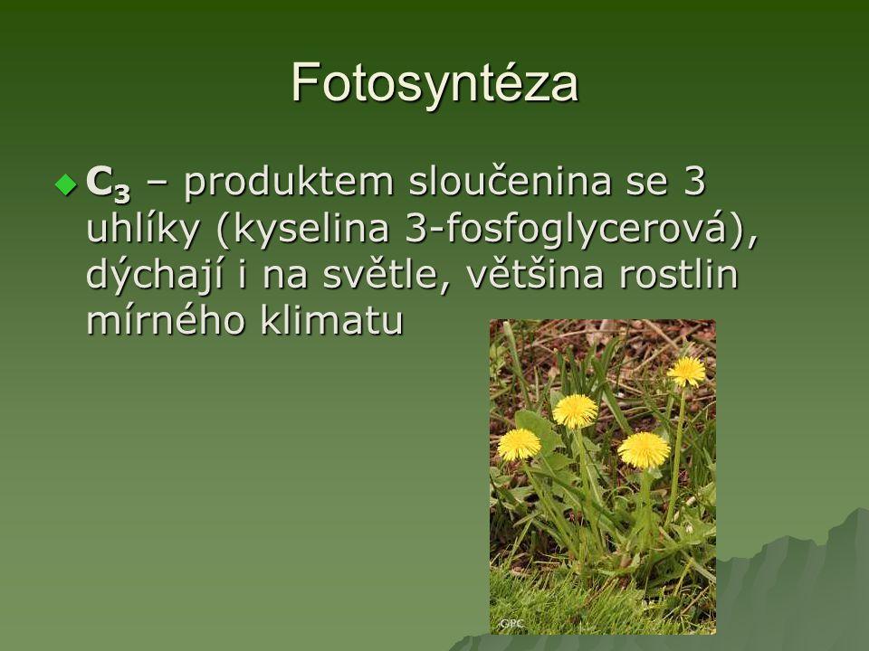 Fotosyntéza  C 3 – produktem sloučenina se 3 uhlíky (kyselina 3-fosfoglycerová), dýchají i na světle, většina rostlin mírného klimatu