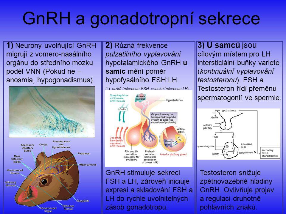 GnRH a gonadotropní sekrece 1) Neurony uvolňující GnRH migrují z vomero-nasálního orgánu do středního mozku podél VNN (Pokud ne – anosmia, hypogonadis