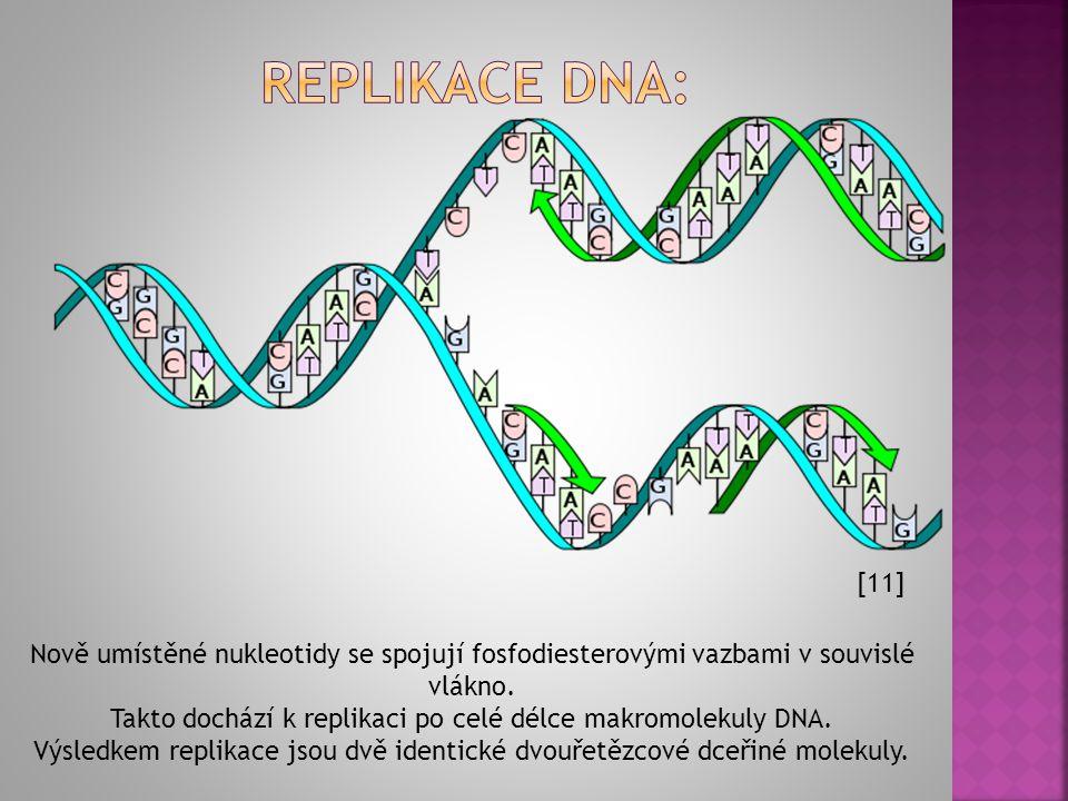  Nejprve dochází k rozplétání dvoušroubovice DNA.  K oběma uvolněným vláknům se na základě principu komplementarity doplňují volné nukleotidy. Adeni