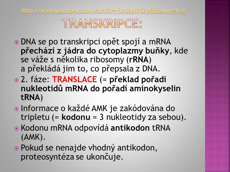  = tvorba bílkovin za podílu: DNA, všech typů RNA, AMK, jádra, ribosomů  1. fáze: TRANSKRIPCE (= přepis genetického kódu o primární struktuře bílkov