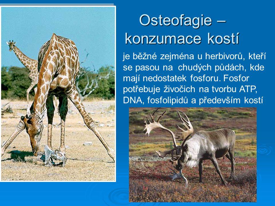 Osteofagie – konzumace kostí je běžné zejména u herbivorů, kteří se pasou na chudých půdách, kde mají nedostatek fosforu. Fosfor potřebuje živočich na