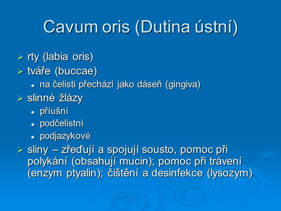 Cavum oris (Dutina ústní)  rty (labia oris)  tváře (buccae) na čelisti přechází jako dáseň (gingiva) na čelisti přechází jako dáseň (gingiva)  slin