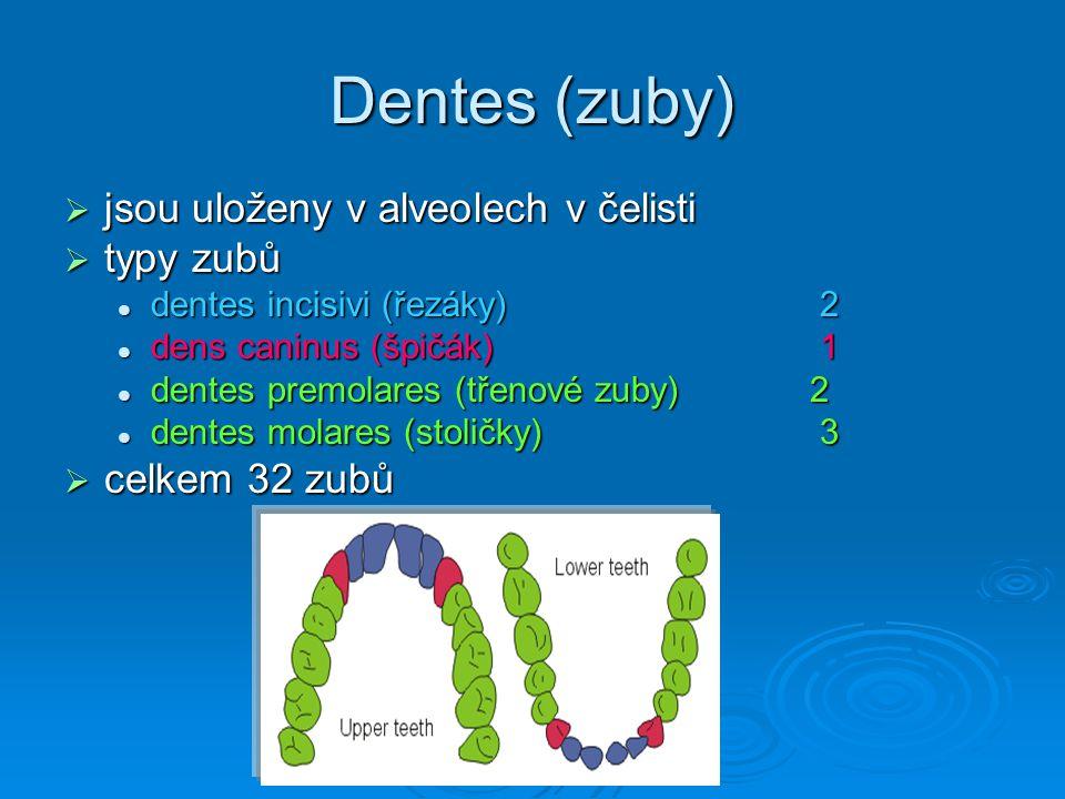 Dentes (zuby)  jsou uloženy v alveolech v čelisti  typy zubů dentes incisivi (řezáky) 2 dentes incisivi (řezáky) 2 dens caninus (špičák) 1 dens cani