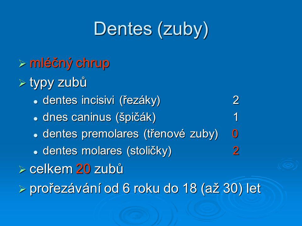 Dentes (zuby)  mléčný chrup  typy zubů dentes incisivi (řezáky) 2 dentes incisivi (řezáky) 2 dnes caninus (špičák) 1 dnes caninus (špičák) 1 dentes