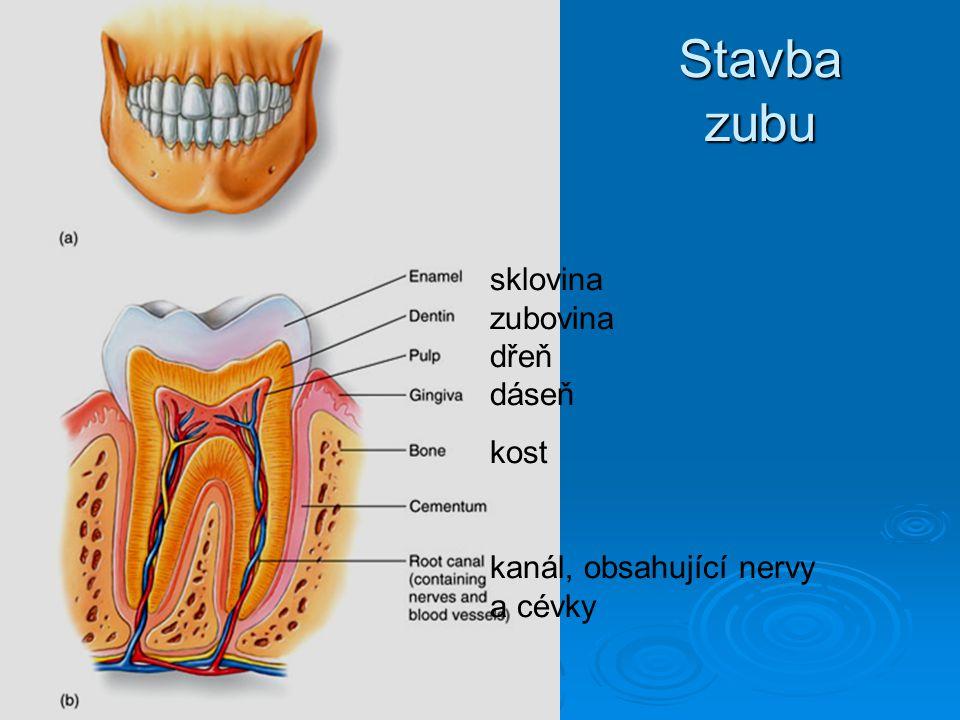 Stavba zubu sklovina zubovina dřeň dáseň kost kanál, obsahující nervy a cévky