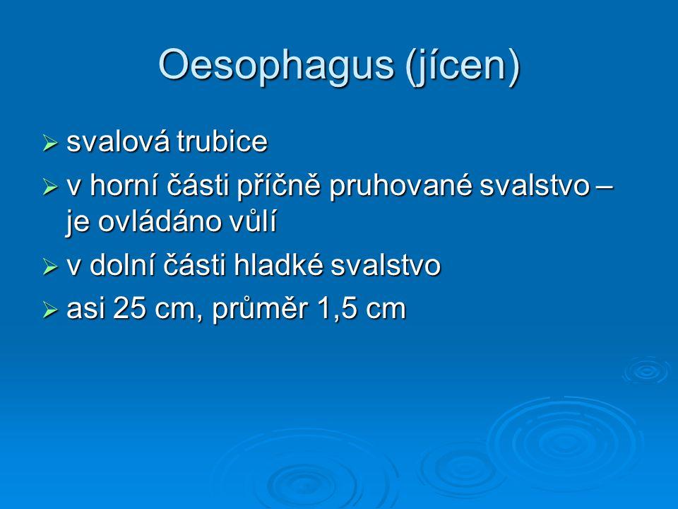 Oesophagus (jícen)  svalová trubice  v horní části příčně pruhované svalstvo – je ovládáno vůlí  v dolní části hladké svalstvo  asi 25 cm, průměr