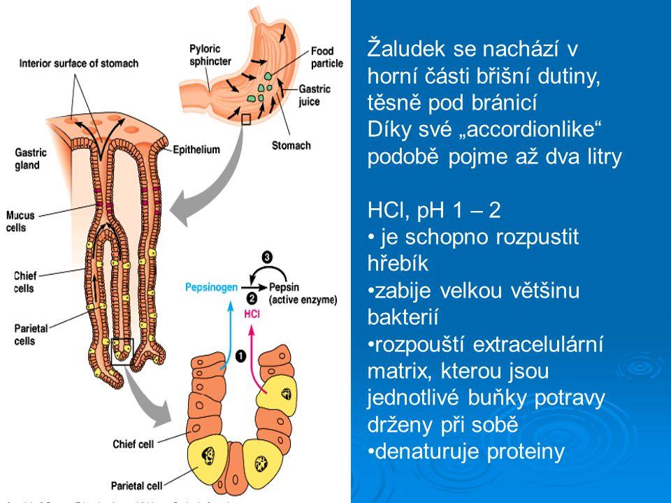 """Žaludek se nachází v horní části břišní dutiny, těsně pod bránicí Díky své """"accordionlike"""" podobě pojme až dva litry HCl, pH 1 – 2 je schopno rozpusti"""