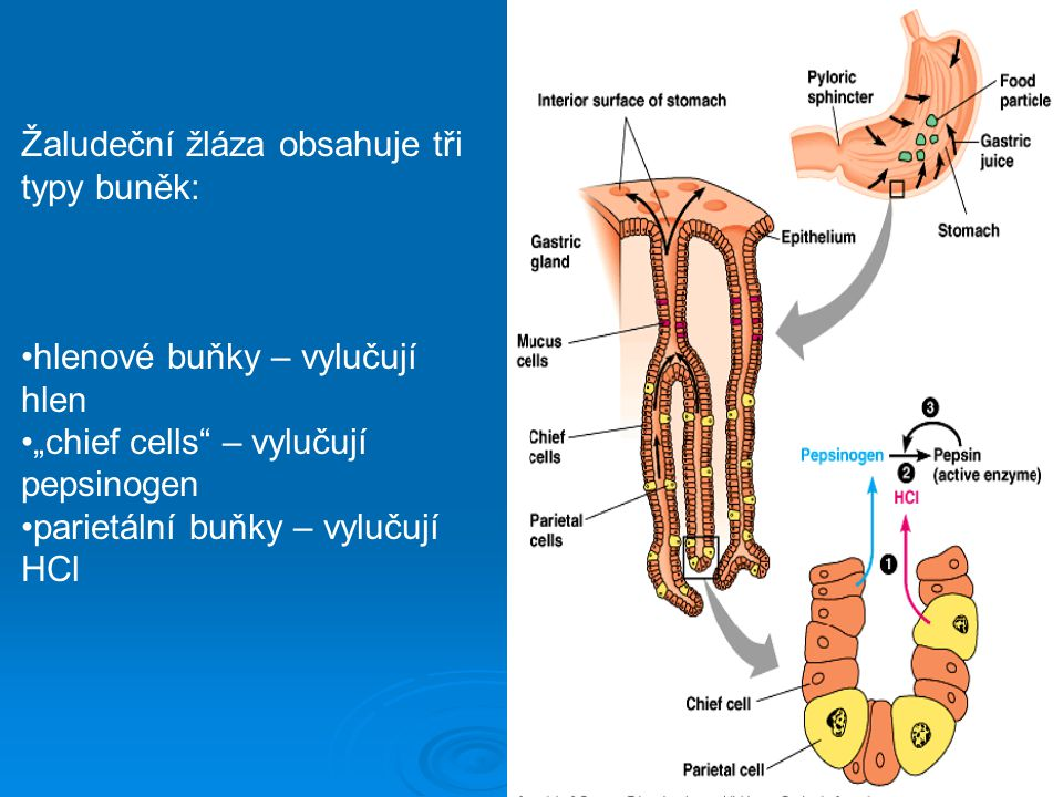 """Žaludeční žláza obsahuje tři typy buněk: hlenové buňky – vylučují hlen """"chief cells"""" – vylučují pepsinogen parietální buňky – vylučují HCl"""