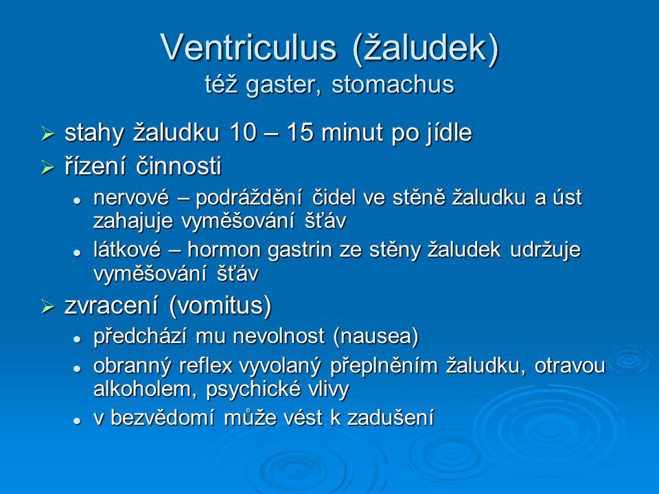 Ventriculus (žaludek) též gaster, stomachus  stahy žaludku 10 – 15 minut po jídle  řízení činnosti nervové – podráždění čidel ve stěně žaludku a úst