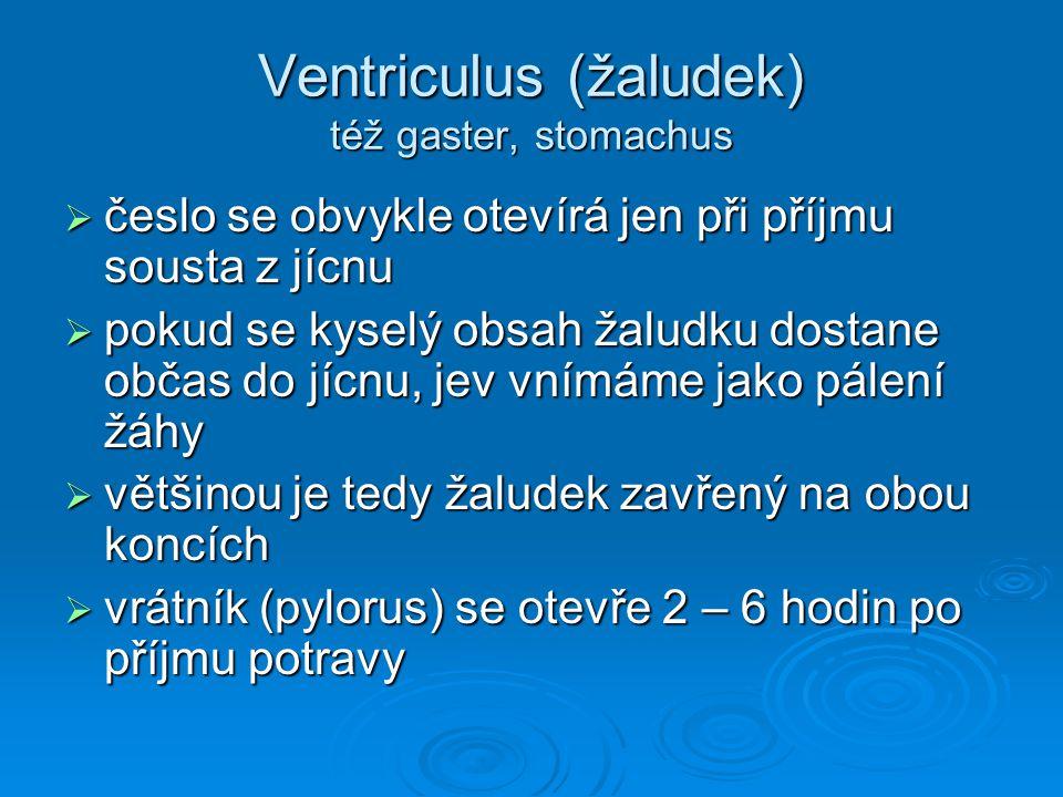 Ventriculus (žaludek) též gaster, stomachus  česlo se obvykle otevírá jen při příjmu sousta z jícnu  pokud se kyselý obsah žaludku dostane občas do