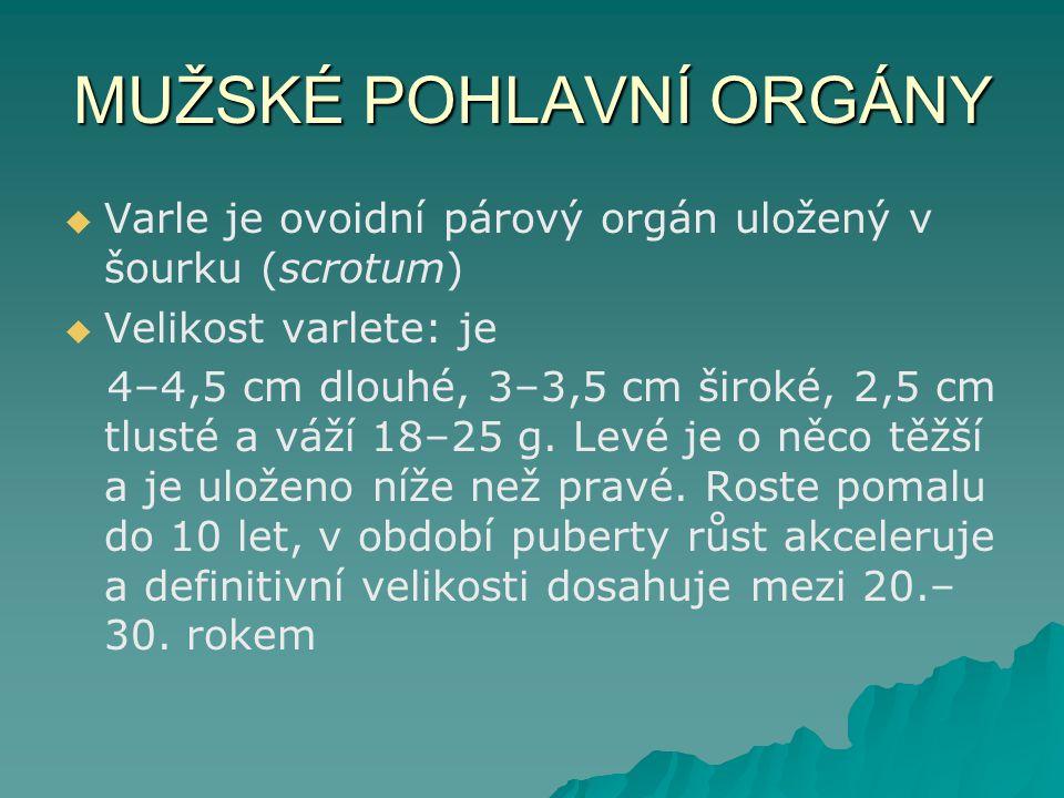 MUŽSKÉ POHLAVNÍ ORGÁNY   Varle je ovoidní párový orgán uložený v šourku (scrotum)   Velikost varlete: je 4–4,5 cm dlouhé, 3–3,5 cm široké, 2,5 cm