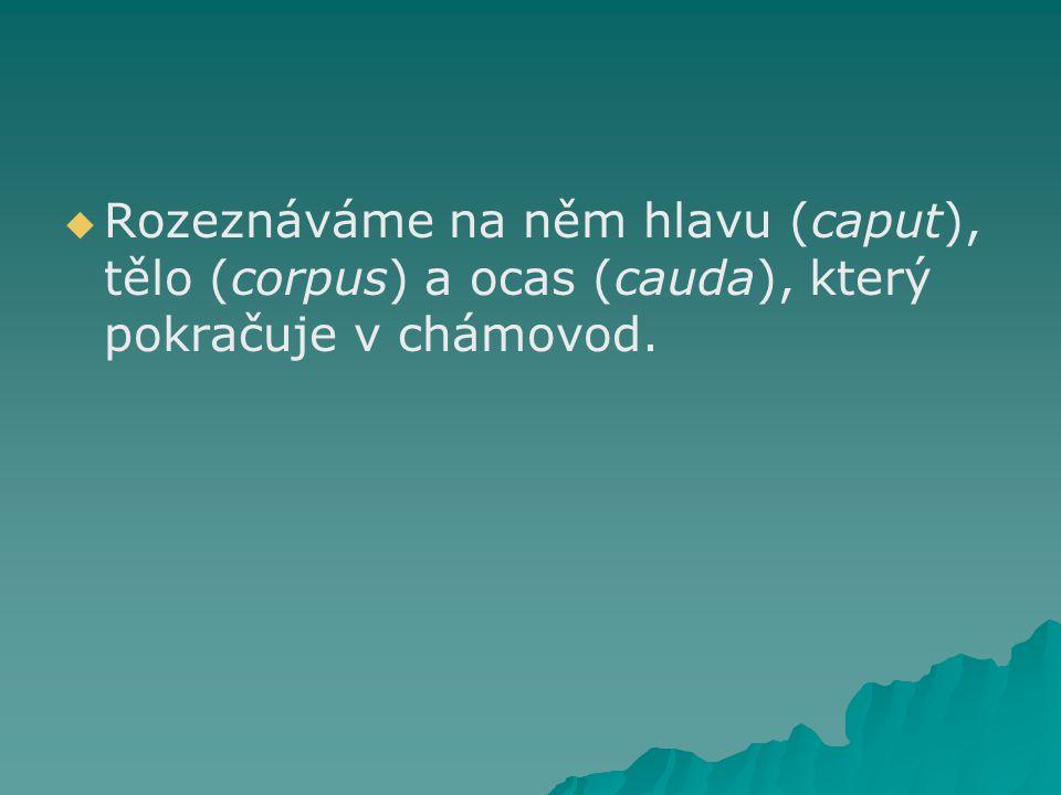   Rozeznáváme na něm hlavu (caput), tělo (corpus) a ocas (cauda), který pokračuje v chámovod.