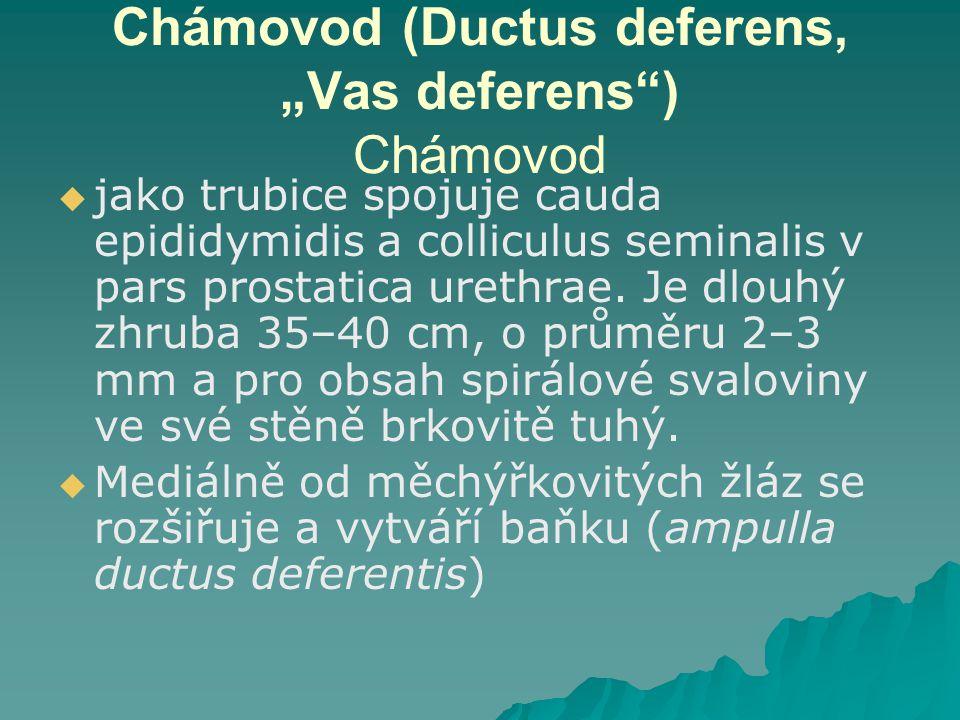 "Chámovod (Ductus deferens, ""Vas deferens"") Chámovod   jako trubice spojuje cauda epididymidis a colliculus seminalis v pars prostatica urethrae. Je"