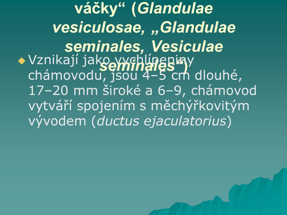"""Měchýřkovité žlázy, """"Semenné váčky"""" (Glandulae vesiculosae, """"Glandulae seminales, Vesiculae seminales"""")   Vznikají jako vychlípeniny chámovodu, jsou"""
