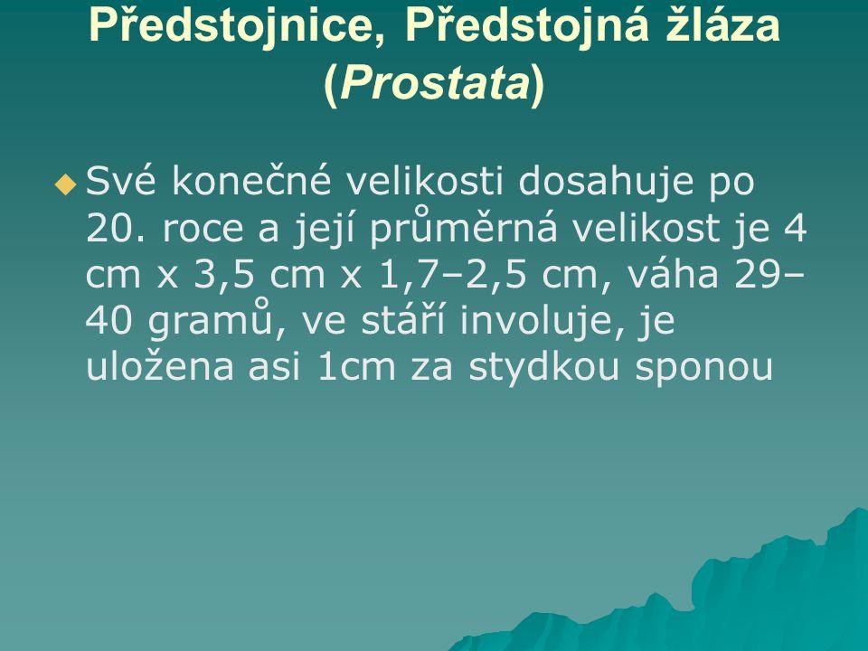 Předstojnice, Předstojná žláza (Prostata)   Své konečné velikosti dosahuje po 20. roce a její průměrná velikost je 4 cm x 3,5 cm x 1,7–2,5 cm, váha