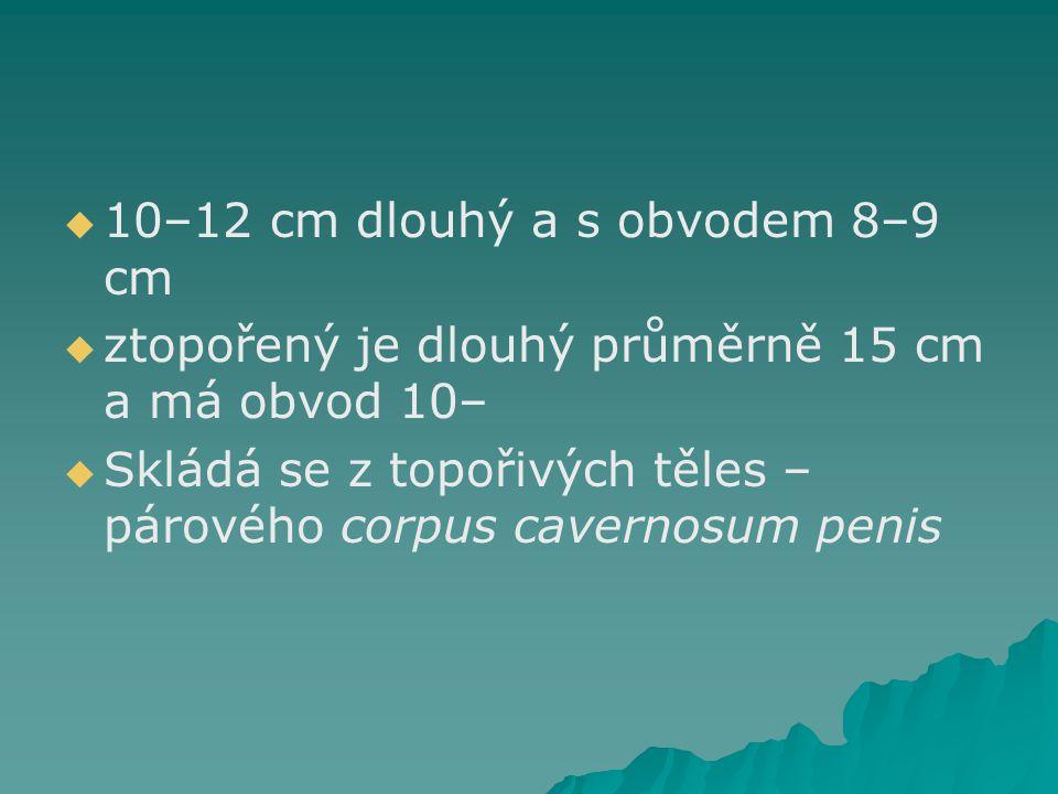   10–12 cm dlouhý a s obvodem 8–9 cm   ztopořený je dlouhý průměrně 15 cm a má obvod 10–   Skládá se z topořivých těles – párového corpus cavern