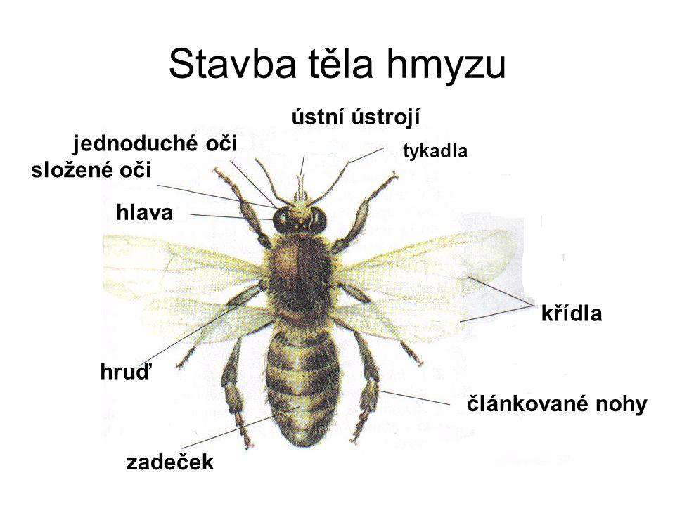 Stavba těla hmyzu hlava hruď zadeček ústní ústrojí složené oči jednoduché oči tykadla křídla článkované nohy