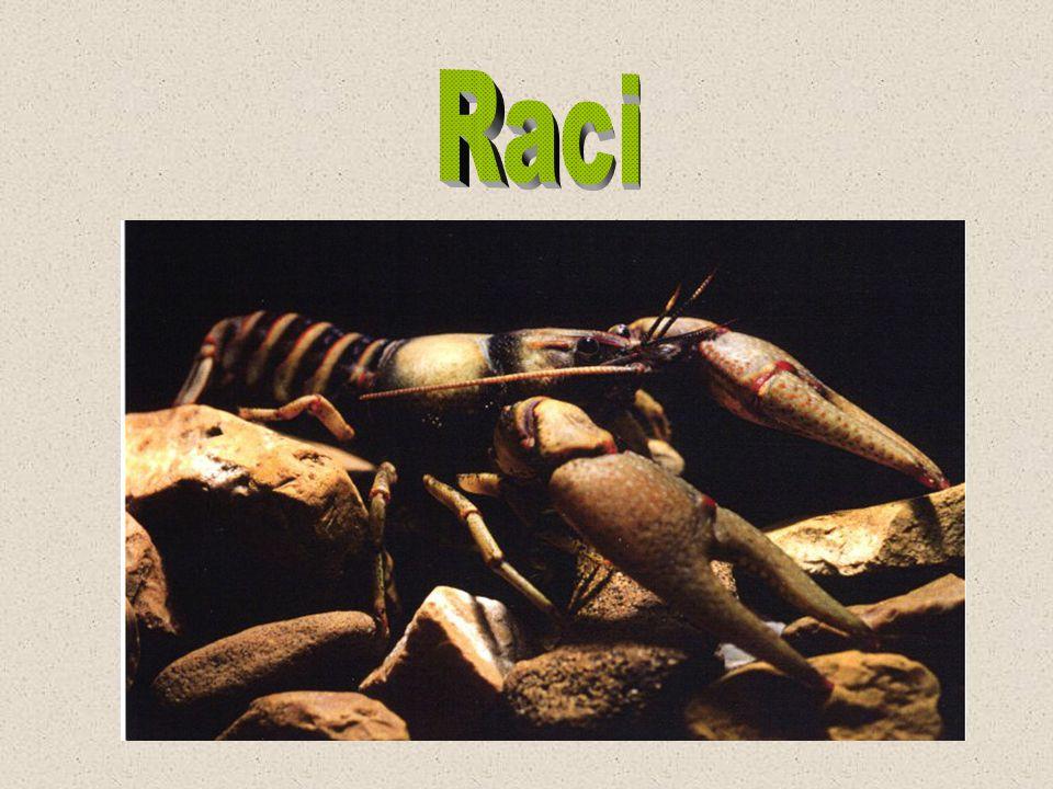 Rak signální ( Pacifastacus leniusculus D.