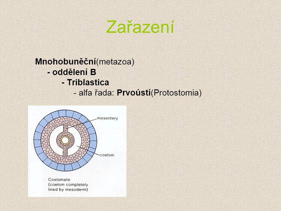 Rak pruhovaný ( Orconectes limosus Raf.