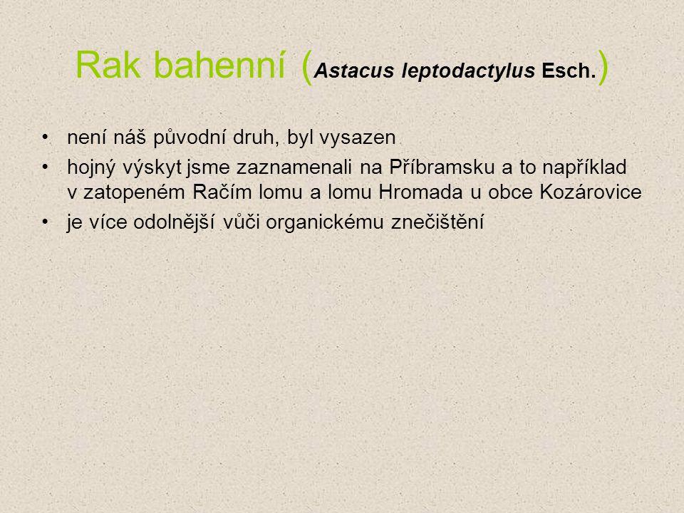 Rak bahenní ( Astacus leptodactylus Esch. ) není náš původní druh, byl vysazen hojný výskyt jsme zaznamenali na Příbramsku a to například v zatopeném