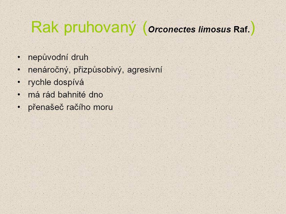 Rak pruhovaný ( Orconectes limosus Raf. ) nepůvodní druh nenáročný, přizpůsobivý, agresivní rychle dospívá má rád bahnité dno přenašeč račího moru