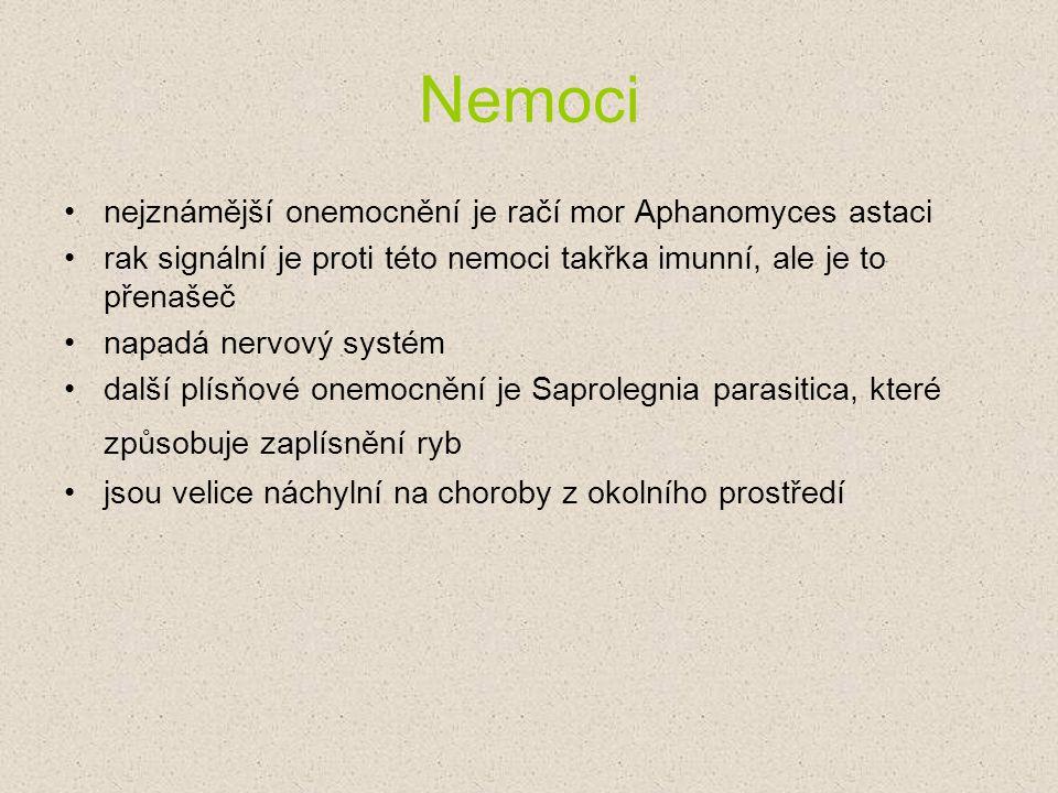 Nemoci nejznámější onemocnění je račí mor Aphanomyces astaci rak signální je proti této nemoci takřka imunní, ale je to přenašeč napadá nervový systém