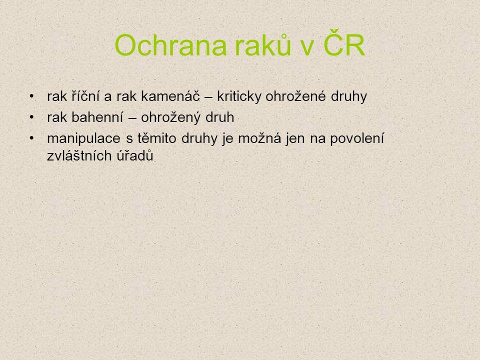 Ochrana raků v ČR rak říční a rak kamenáč – kriticky ohrožené druhy rak bahenní – ohrožený druh manipulace s těmito druhy je možná jen na povolení zvl