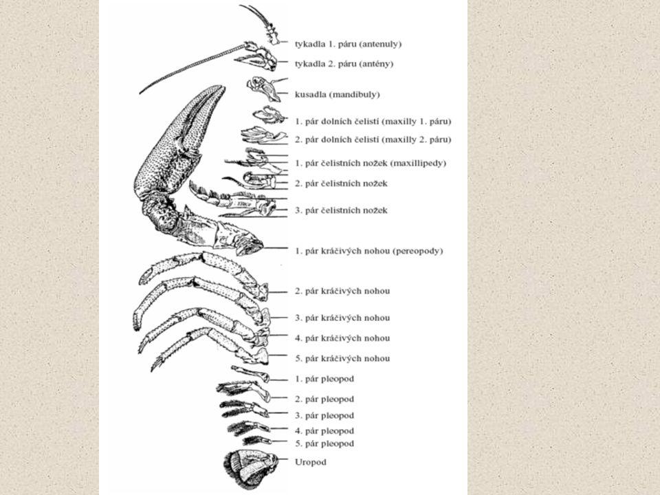 Svalstvo hustá bílá hmota každý sval má na konci chitinovou šlachu, kterou je pevně spojen s určitou částí krunýře nejmohutnější u klepet, nohou, zadečku a žaludku