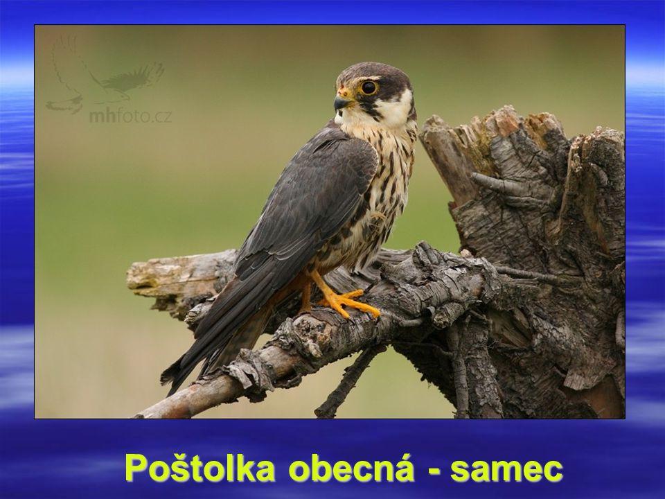 Poštolka obecná - samec