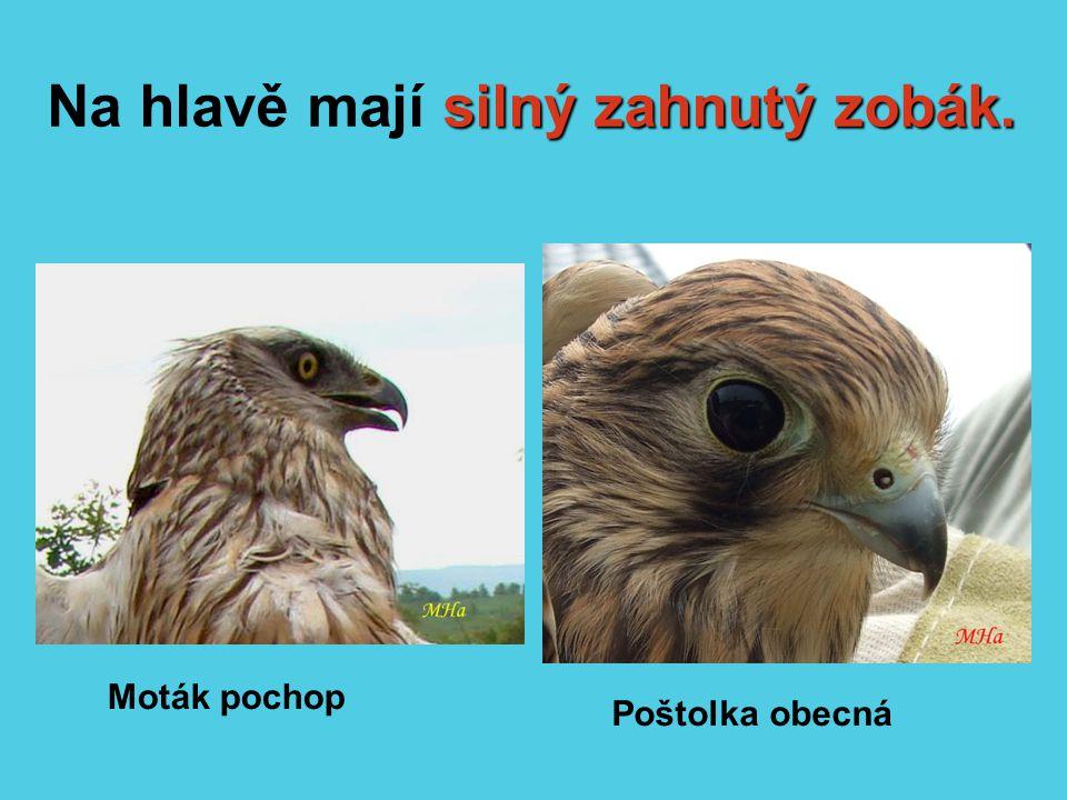 silný zahnutý zobák. Na hlavě mají silný zahnutý zobák. Moták pochop Poštolka obecná