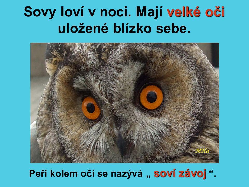 """velké oči Sovy loví v noci. Mají velké oči uložené blízko sebe. soví závoj Peří kolem očí se nazývá """" soví závoj """"."""