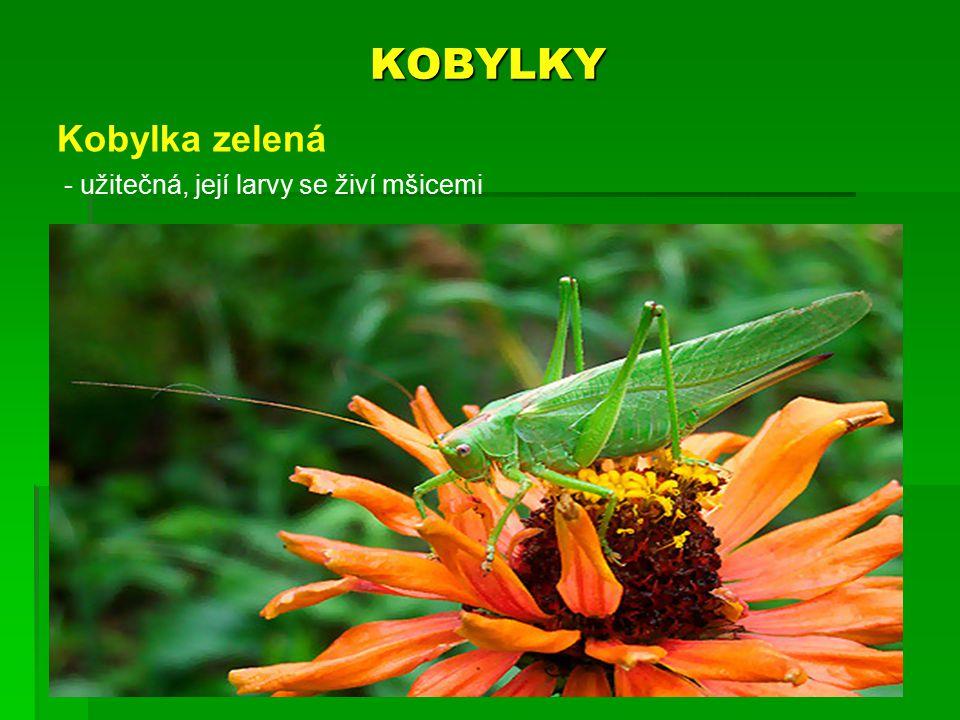 KOBYLKY Kobylka zelená - užitečná, její larvy se živí mšicemi