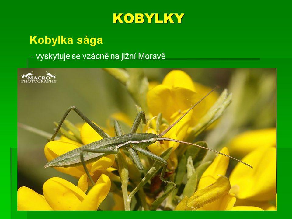 KOBYLKY Kobylka sága - vyskytuje se vzácně na jižní Moravě