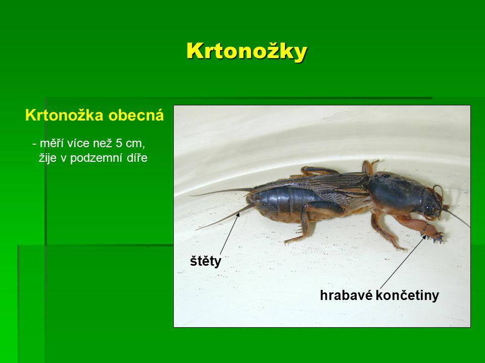 Krtonožky Krtonožka obecná hrabavé končetiny - měří více než 5 cm, žije v podzemní díře štěty