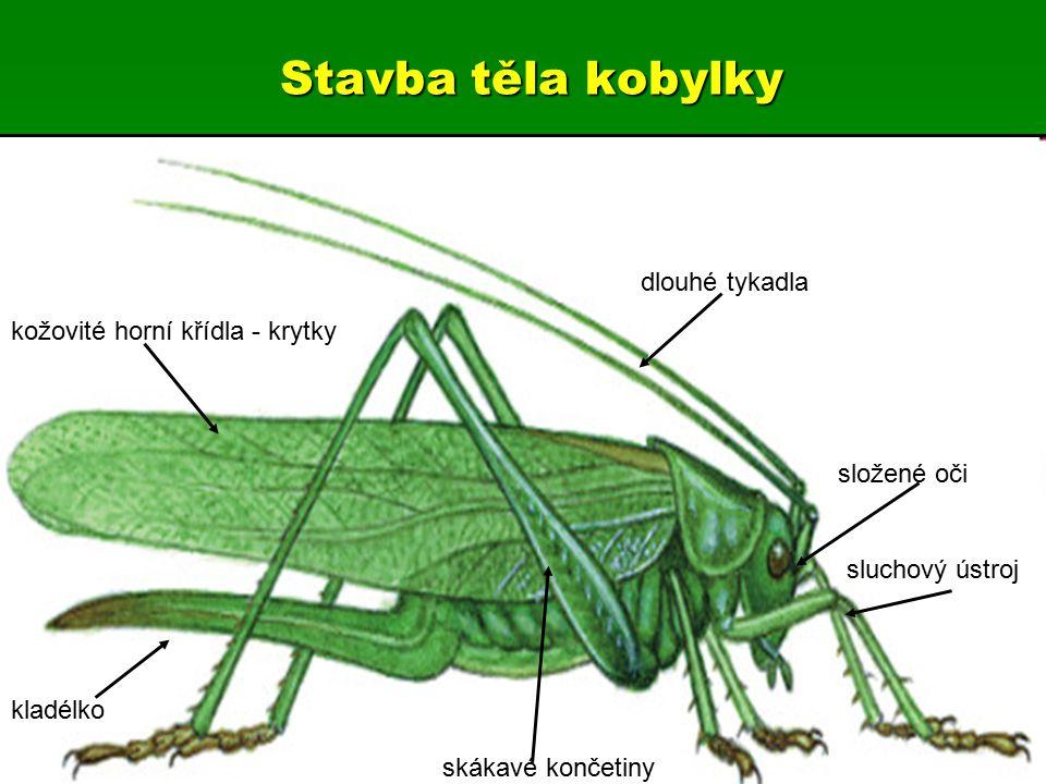 Stavba těla kobylky dlouhé tykadla kožovité horní křídla - krytky kladélko složené oči sluchový ústroj skákavé končetiny