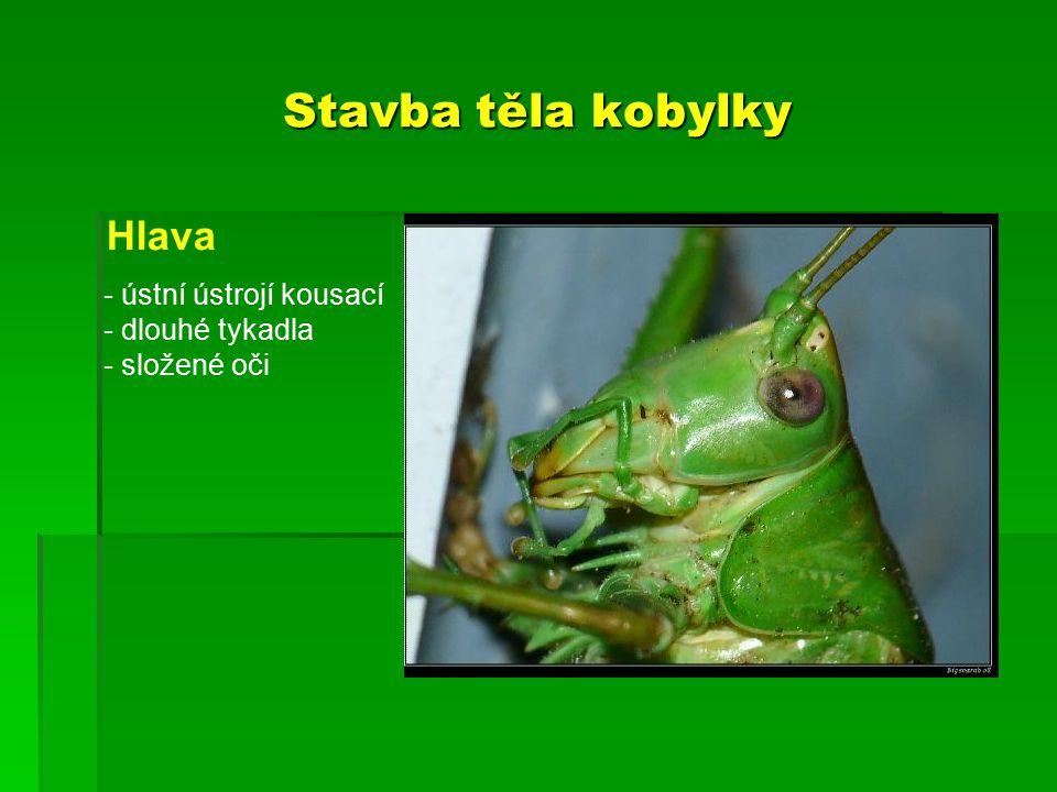 Stavba těla kobylky Hlava - ústní ústrojí kousací - dlouhé tykadla - složené oči