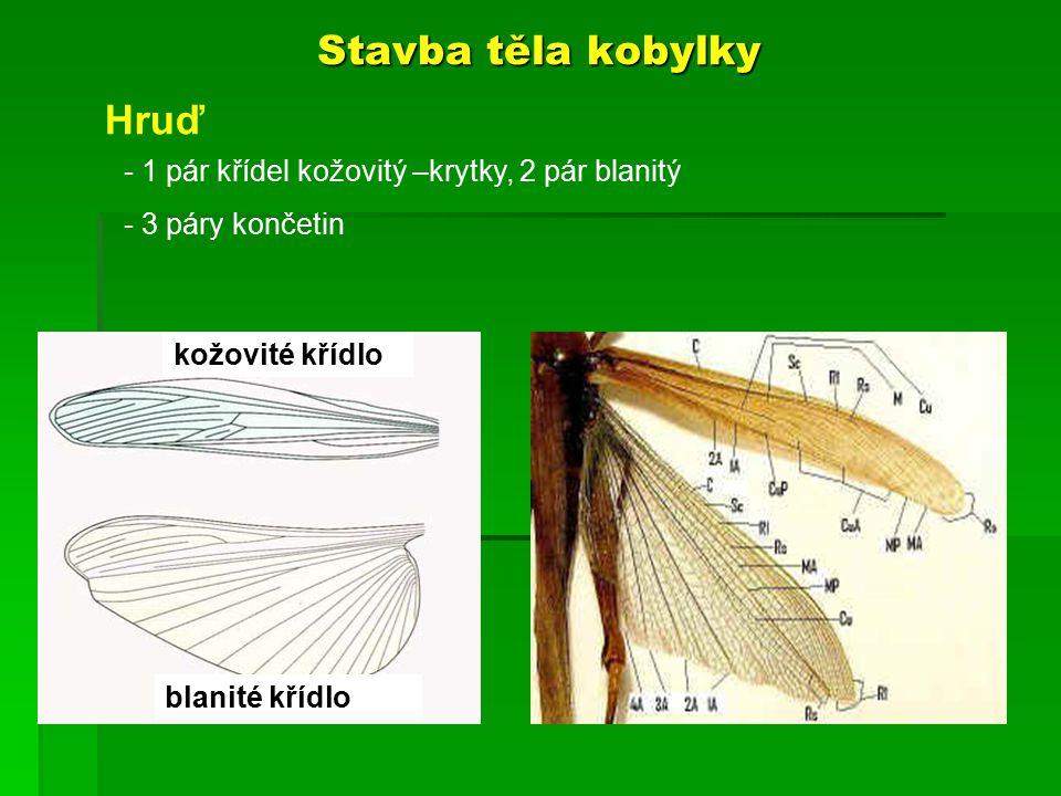 Stavba těla kobylky kožovité křídlo blanité křídlo Hruď - 1 pár křídel kožovitý –krytky, 2 pár blanitý - 3 páry končetin
