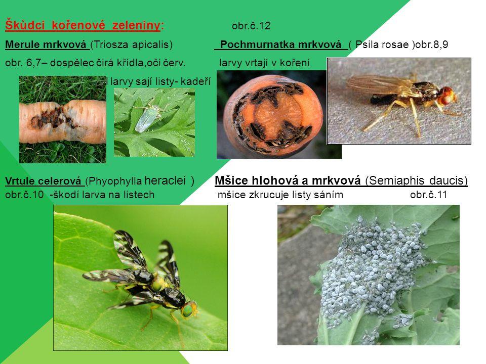 Škůdci kořenové zeleniny: obr.č.12 Merule mrkvová (Triosza apicalis) Pochmurnatka mrkvová ( Psila rosae )obr.8,9 obr. 6,7– dospělec čirá křídla,oči če
