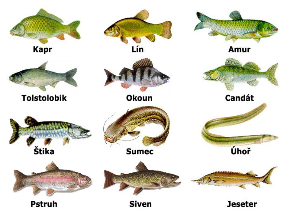  Rybí maso je velmi zdravé a lehce stravitelné,  obsahuje velké množství proteinů, je bohaté na minerály a stopové prvky, nechybějí mu vitaminy A, B a D.